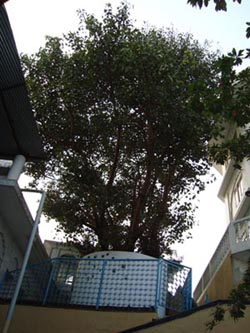 The present sight of the tree at Gurdwara Teg Bahadur Sahib, Dhubri.